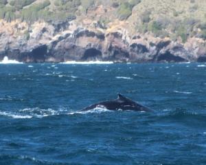 One of the two humpback whales spotted at Taiaroa Head on Tuesday. PHOTO: MIKE WILLIAMS