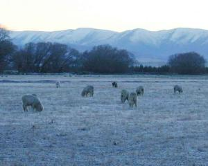 Sheep graze on a frosty Ida Valley morning in June. There is growing optimism the long-awaited...