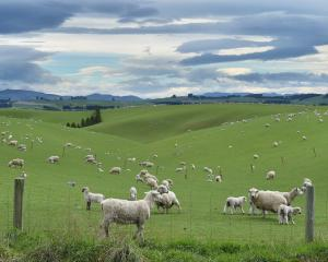 Ewes and lambs graze near Pukerau late last week. PHOTO: GREGOR RICHARDSON