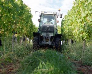 The tractors get to work harvesting grapes.