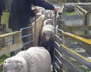 Tim Graham, of Te Akatarawa Station, on the shores of Lake Aviemore, drafts merino wethers in...