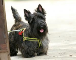 The Scottish terrier in the Dunedin City Council FYI brochure.