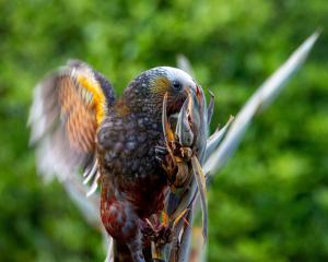 A kaka enjoys  nectar-filled harakeke flowers. PHOTO: GIVERNY FORBES