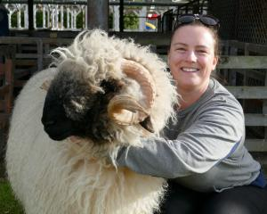 Nikita Woodhead, of Mosgiel, leads Valais blacknose ram Angus into the pens at the South Otago A ...