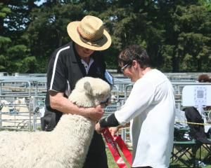 Silverstream Templar is given the first place ribbon by judge Diane Marks in the junior male...