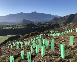 Mountain beech plantings on Mt Dewar Station, above the Coronet Peak road. PHOTO: ADAM SMITH