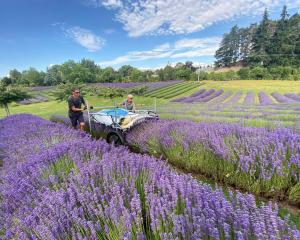 The 12ha Wanaka Lavender Farm is run as a commercial lavender farm, but is still very much a...