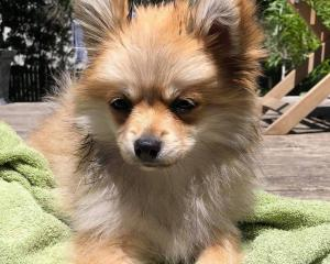 Bill the 16-week-old Pomeranian went missing on Saturday. Photo: Supplied