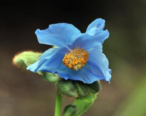 Meconopsis betonicifolia, also known as the Himalayan blue poppy. PHOTO: CHRISTINE O'CONNOR
