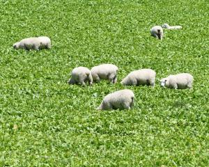 Lambs graze alongside State Highway93, between Clinton and Mataura, yesterday. PHOTO: STEPHEN...