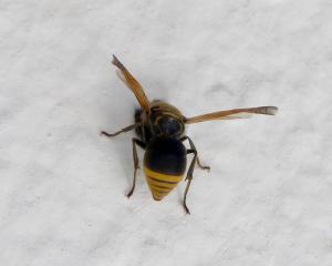 Keyhole or 'Mason' wasps will make nests in tiny holes like aircraft instruments. Photo: Gail...