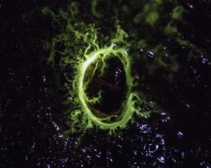 Glow-in-the-dark limpet Latia neritoides, the worlds' only bioluminescent freshwater snail....