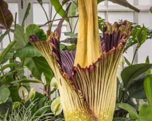 The corpse plant. Photo: ODT files.