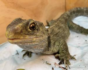 Brutus the tuatara was recently in Dunedin Wildlife Hospital being successfully treated for a...