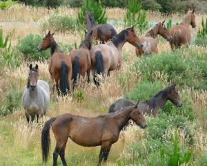 Wild horses await discovery in the hills above Kaitangata during a fundraising trek this weekend....