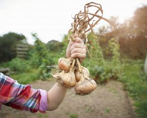 Onions are ready for harvesting once the leaves start turning brown or begin drying up.PHOTO:...