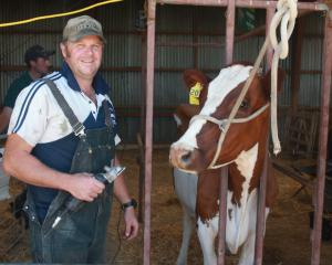 Tapanui farmer Bruce Eade prepares to exhibit 4-year-old 