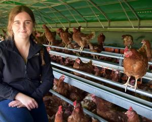 Bowalley Free Range marketing and brand manager Anna Craig (20) relaxes with a flock of hens on...