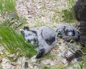 Three chicks found and tagged as part of the Cardrona Karearea Conservation Project have been...