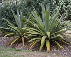 Cordyline indivisia PHOTO: GERARD O'BRIEN