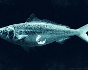 An artist's impression of an oesophagus clip inside a fish Photo: RNZ / Vinay Ranchhod