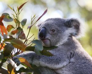 Koala numbers were plummeting before the black summer bushfires. Photo: Getty Images