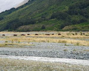 Cattle grazing the Von river flats