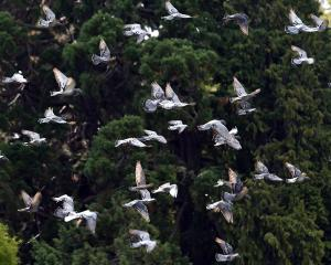 Pigeons in flight at the Dunedin Botanic Garden. PHOTO: PETER MCINTOSH