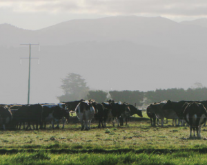 A herd of dairy cows on a South Canterbury farm (file image). Photo: RNZ