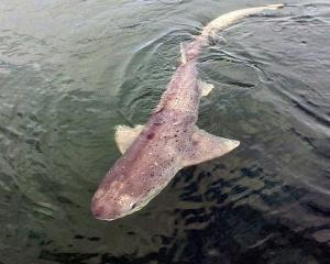 A sevengill shark in Stewart Island waters. PHOTO: SIMONE JARRETT