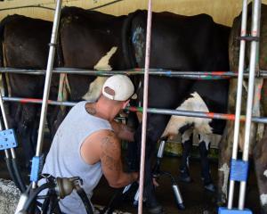 An Otago Corrections Facility inmate milks cows in Milburn. PHOTOS: SHAWN MCAVINUE