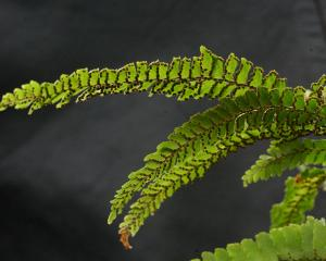 Adiantum hispidulum. PHOTO: ODT FILES