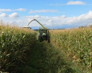 A crop of maize harvested at Matakanui Station near Omakau last week was one of the best owners...