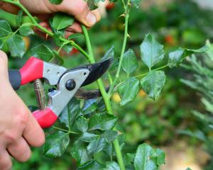 Meticulous following Victorian rose-pruning rules gives you fewer flowers the next year than...
