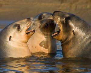 Playful sea lion pups are among the many creatures to be highlighted and celebrated during the...