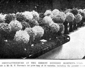 Chrysanthemums on display at the Dunedin Horticultural Society's show. Mr H.T. Travena's winning...