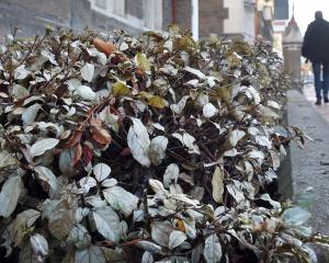 A man walks past the dying plants outside the Dunedin District Court, which are infected with...
