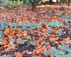 Cyclamen hederifolium is one of the garden camellia collection's main signature plants.PHOTO:...