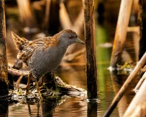 A marsh crake at Tomahawk Lagoon, Dunedin. PHOTO: FIONA GILL