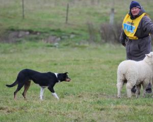 Bernard Arends, of Makotuku, 15km north of Dannevirke, and heading dog Tarn have the sheep lined...