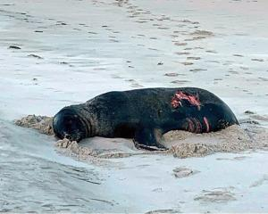 A sea lion bitten by what is believed to have been a great white shark rests on Allans Beach on...