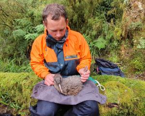 The Department of Conservation's Troy Watson holds the first chick to reach stoat-safe weight in...
