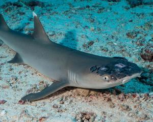 A whitetip reef shark with white spots and lesions. Photo: Jason Isley/Scubazoo via Reuters