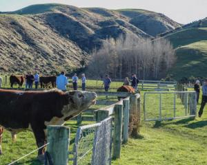 Grassmere Herefords' bulls go under the hammer at an on-farm bull sale held near Cheviot on June...