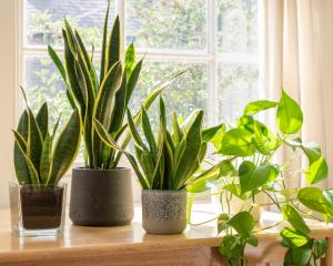 Relatively few houseplants will like being placed within 1m of a north-facing window....