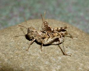 Two Otago lowland grasshoppers mate in the wild. A recent study by Massey University scientists...