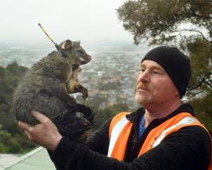 Andy Kinley prepares to release a possum in St Clair after fitting it with a GPS tracking collar....