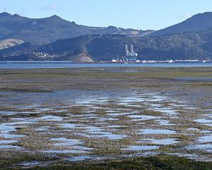 A low tide at Harwood reveals a blanket of marine plant life below Otago Harbour's surface....