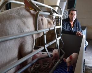 North Otago pig farmer Ian Carter checks on a sow and her piglets in a farrowing crate on his...