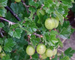When pruning gooseberries, take into account the fact that they fruit on old wood. Photo by...